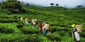 Jorhat Tea Industry Assam