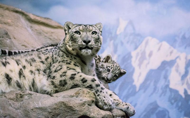 borasu-pass-himalayan-leopard