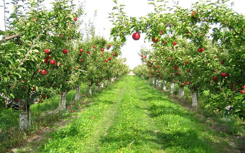 fruit-orchards-parwanoo