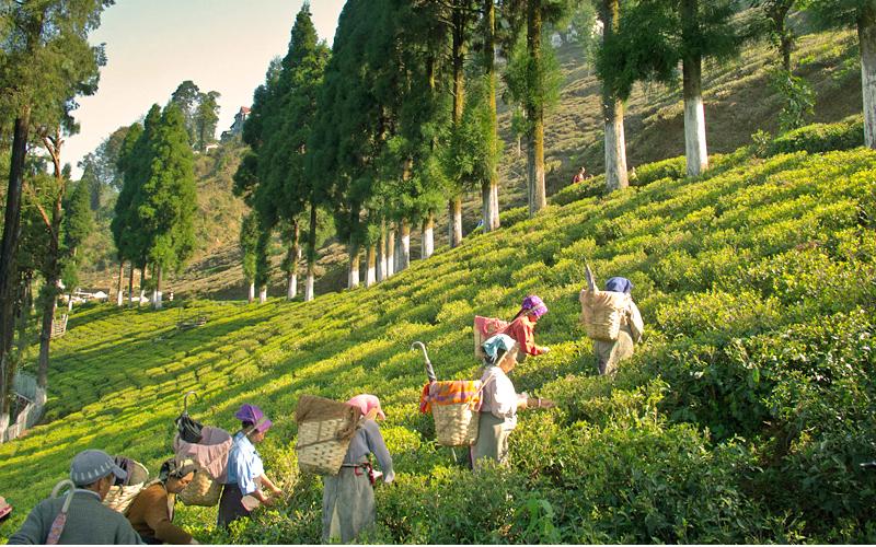 tea-estate-kurseong
