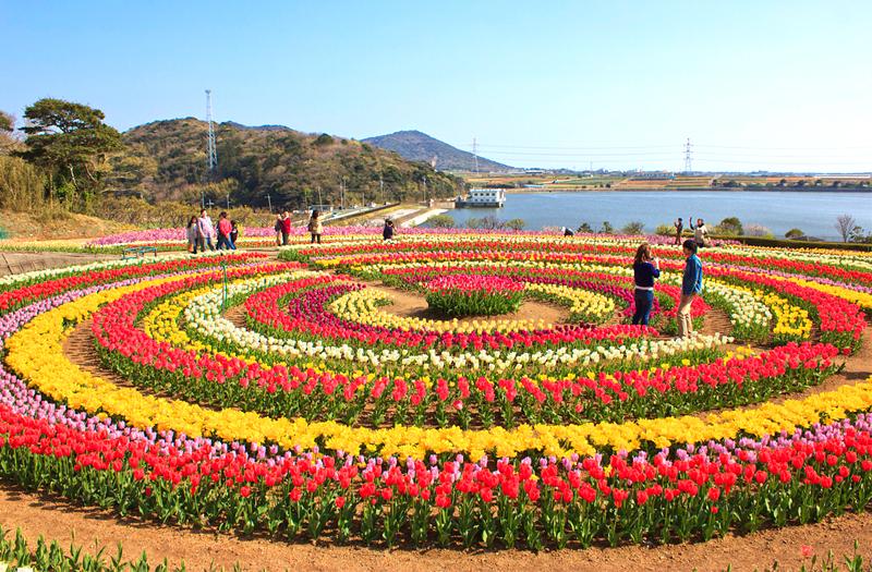 tulip-garden-srinagar-kashmir-india