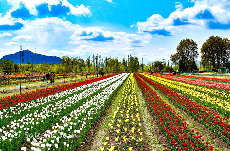 tulip-garden-srinagar-kashmir