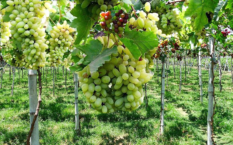 grapescitynashik