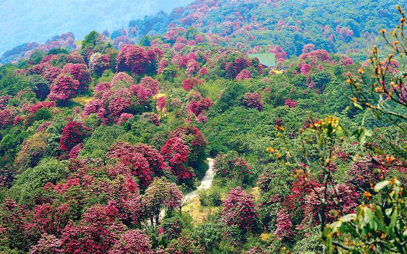 rhododendrons bloomingkanchenjunga