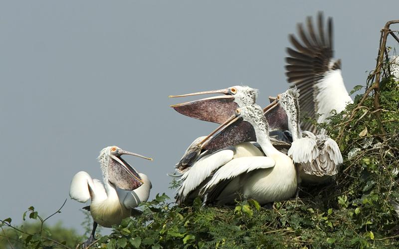 nellapattu-bird-sanctuary-india