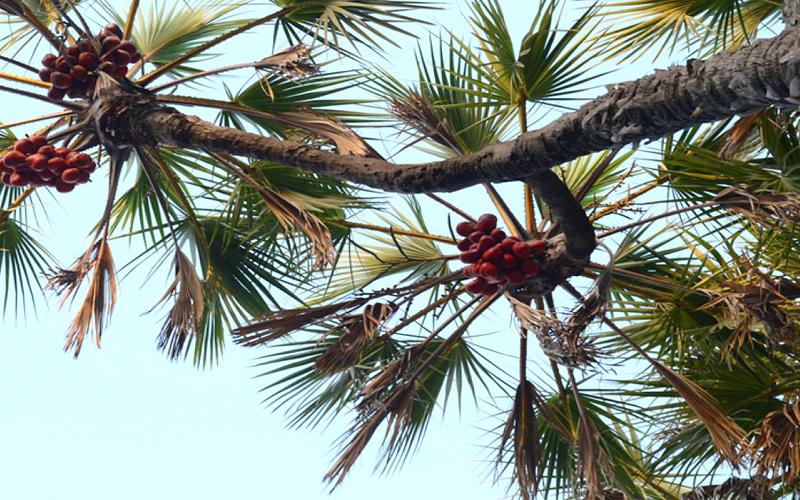 hokka-trees-india