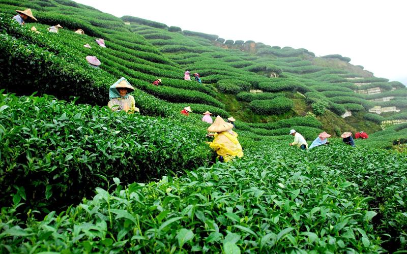 tea-estates-india