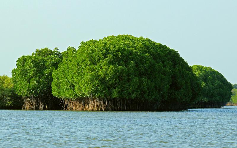 pichavaram-mangrove-forest-india