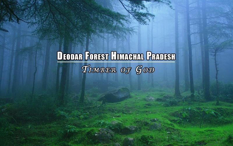 Deodar Forest Himachal Pradesh