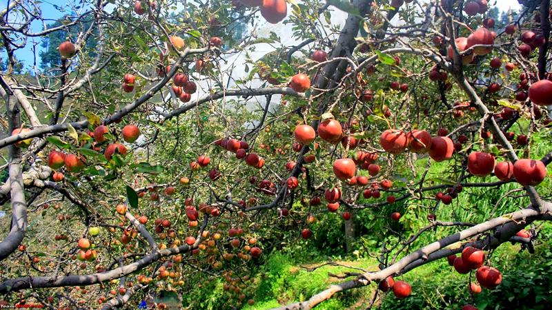 apple-garden-india